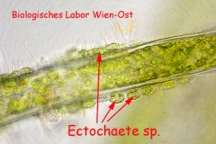 Schmarotzer-Grünalge - Ectochaete sp.