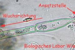 Kappenalge - Oedogonium sp.