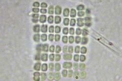Tafelblaualge - Merismopedia sp.