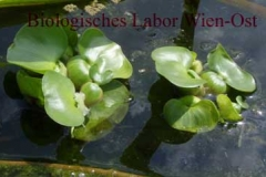 Wasserhyazinthe - Eichhornia sp.