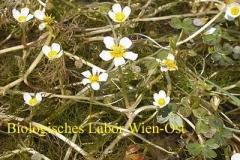 Hahnenfuß - Ranunculus sp.
