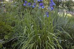 Schwertlilie, blau - Iris sibirica