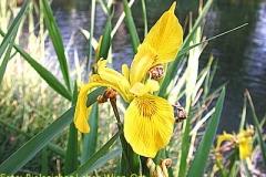 Sumpfschwertlilie - Iris pseudacorus