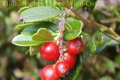 Preiselbeere - Vaccinium vitis idaea