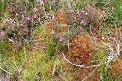 Torfmoos - Sphagnum sp.