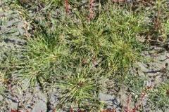 Salz-Zyperngras - Cyperus pannonicum