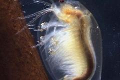 Muschelschaler - Limnadia sp.
