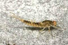 Eintagsfliegenlarve - Baetis sp.