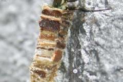 Köcherfliegenlarve - Brachycentrus montanus