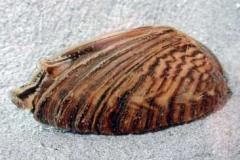 Dreikant- oder Wandermuschel - Dreissena polymorpha
