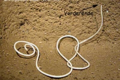 Saitenwürmer - Nematomorpha