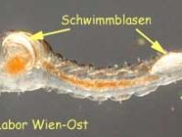 Büschelmückenlarve - Chaoborus plumicornis