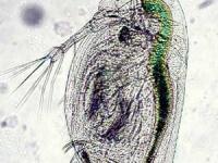 Wasserfloh Männchen - Daphnia curvirostris