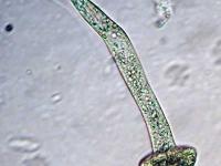 Augentierchen - Euglena
