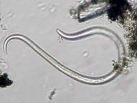Fadenwurm- Nematoda