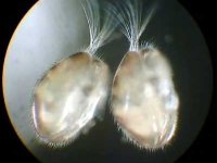 Muschelkrebse - Ostracoda