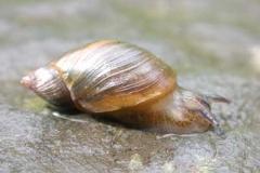 Bernsteinschnecke - Succineidae