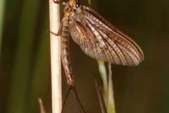Eintagsfliege - Ephemeroptera