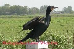 Kormoran - Phalacrocorax carbo