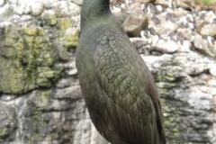 Krähenscharbe - Phalacrocorax aristotelis