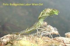 Serie Libellenschlupf 1