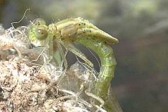 Serie Libellenschlupf 2