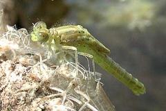 Serie Libellenschlupf 3
