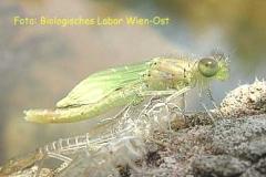 Serie Libellenschlupf 4