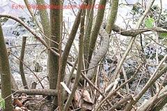Würfelnatter - Natrix tessellata