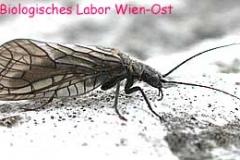 Schlammfliege - Megaloptera