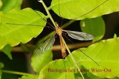 Schnake - Tipulidae