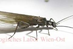 Steinfliege - Plecoptera