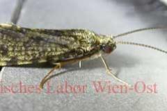 Köcherfliege - Trichoptera