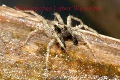 Wolfsspinne - Lycosidae