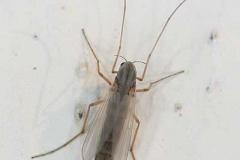 Zuckmücke, weiblich - Chironomidae